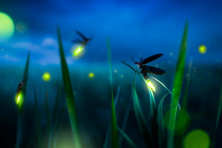FireFly Viewing Nights