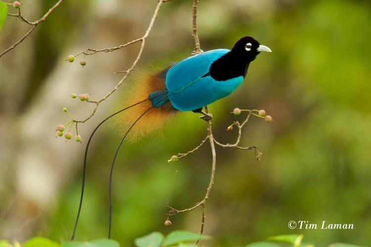 The Amazing World of Birds-of-Paradise: Stone Memorial Lecture Special Event