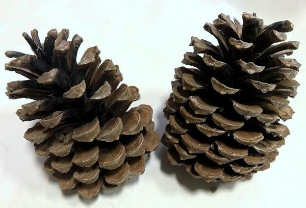 Science Solvers: Pine Cone Lab