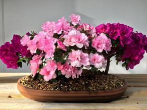 Como Zoo and Conservatory - Mother's Day Bonsai Show