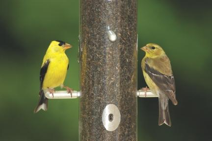 Wild Birds Unlimited In-Store Program: American Goldfinches