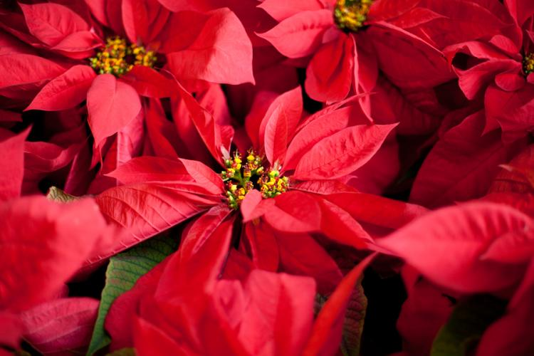 Make and Take: Poinsettia Mixed Planter