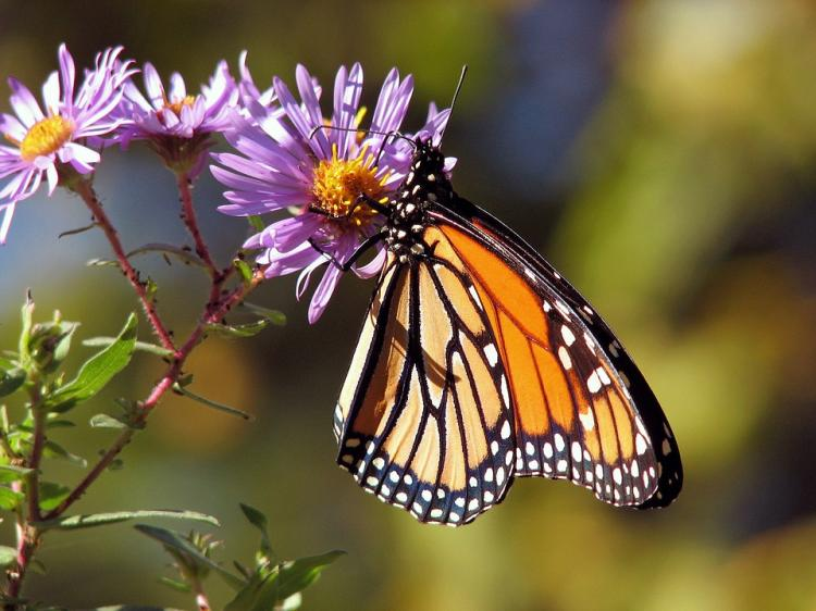 Monarch Migration at Adams-Ricci Park