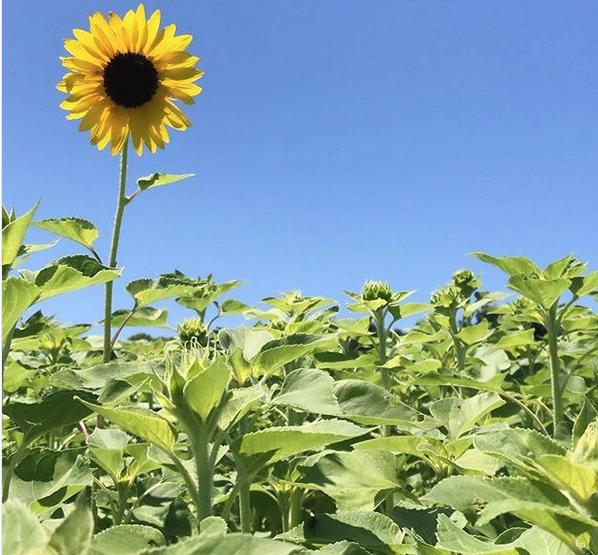 Sunflowers are back Sophia's at Walden