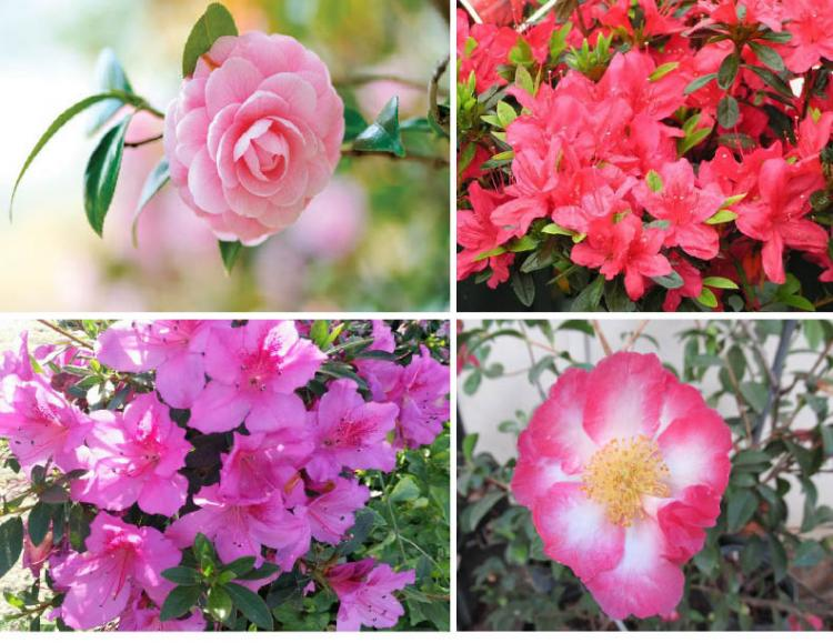 Know to Grow: Camellias & Azaleas