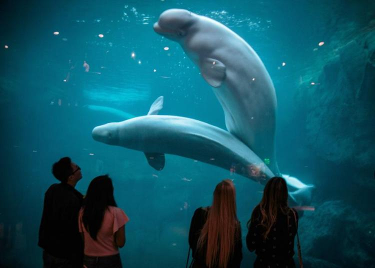 Things to do during quarantine: Watch the Beluga Whales at the Georgia Aquarium