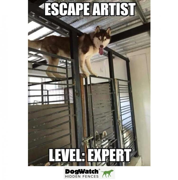 Yes! A DogWatch Hidden Fence Can Safely Contain Your Husky, the Escape Artist